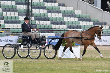 Stuart Ryan drove his lovely, 'Stillbrook Tiger Lily' to win the class for Pony Driven in Single Harness 13-14hh.
