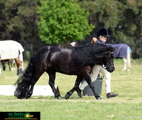 When your mane and tail are this good show them off; Phoebe Blanc and her Shetland Pony Kristamoor Lodge Kieran competed in the Primary Show Horse Led Interschool Nationals held at Weribee.