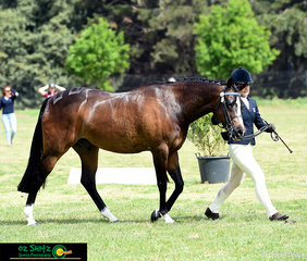 Representing New South Wales in the Secondary Show Horse was Cienna Knowles and her horse Nevertire Just Dane.