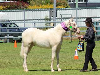 Supreme led Stallion or Colt