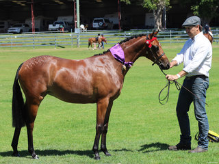 Supreme Led Mare or Filly