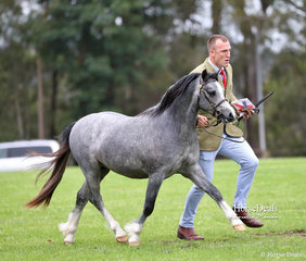 """Champion Welsh Mountain Pony of the Show """"Eagle Park Sweet Loving"""" and Daniel Harvey."""
