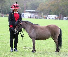 """Carala Zandora's Surprise"" was the Champion Australian Minature Pony Mare, exhibited by Bronwyn & John Davis."