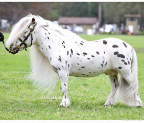 "Reserve Champion Australian Minature Pony Stallion ""Brymar Domino"" exhibited by Bronwyn & John Davis."