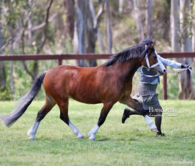 """Champion Junior Welsh Gelding of Section A Breeding Lisa Lukies' """"Osory Rhapsody"""", led by Jodie Peever."""