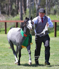 """Reserve Champion Welsh Mountain Pony Gelding """"Armanii Park Madagascar"""", exhibited by The Galloway-Smith Family, led by Mark Brown."""