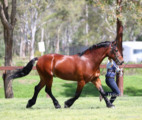 """Winner of the class for 2 year old Welsh Cob Colts """"Haluma Park Siorus"""", exhibited by H. Shilcock."""