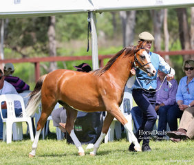 """""""Bamborough Organa"""" works out in the Yearling Welsh Pony Filly class, exhibited by Bamborough Pony Stud."""