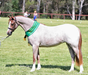 """""""Bamborough Ophelia"""" was the Reserve Champion Welsh Pony Filly, exhibited by Ruth Anderson."""