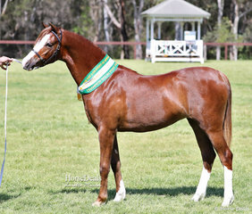 """Champion Welsh Pony Filly """"Keyi Condoleezza"""", exhibited by Janet & Chris Murphy."""