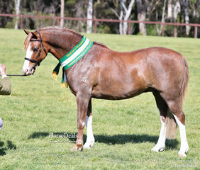 "Janet & Chris Murphy's exhibit ""Keyi Sirocco"" was the Champion Gelding Youngstock of Section B Breeding."