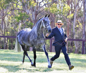 """Running out in the class for Part Bred Welsh Mare or Geldings  4 & over, over 15hh """"Pemberton KGB"""", exhibited by D & S Auman."""