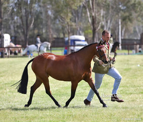 """Maree Garrett & Georgie Bell's exhibit """"Brynlee Sing For Me"""" placed 3rd in the class for Part Welsh Mare or Geldings, 4 & over, over 13 & not exceeding 13.2hh."""