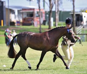 """Alysha Faets had a successful show with lovely """"Paulgren Park Halo"""" owned by Tracey Faets, winning Champion Led Show Hunter Pony and also a Reserve Champion in their Ridden Newcomer event."""