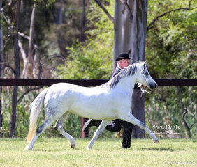 """David Smith running out with Yarra Heights Stud's exhibit """"Imperial Bow Belle"""" in the Welsh Mountain Pony Dry Mare 4 & under 8 years event."""