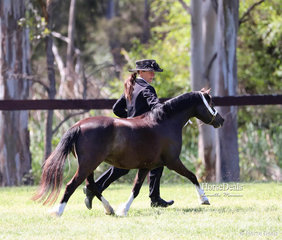 """Working out in the class for Welsh Mountain Pony Dry Mares 4 & under 8 years is """"Salient Fashion Statement"""", exhibited by N Tracey."""