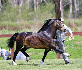 """""""Indi Pavarotti"""" was the Reserve Champion Cob Type Stallion, exhibted by Denise & Mark Brown."""