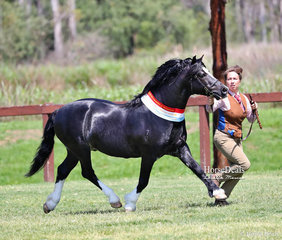 """Supreme Champion Welsh Cob Exhibit """"Cataraqui Hasufel"""", exhibited by R. & T. Lee, led by Katie Perry."""