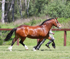 """Champion Welsh Cob Mare """"Indi Marie Louise"""", exhibited by Denise & Mark Brown."""