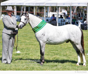 """Reserve Champion Welsh Senior Gelding of Section B Breeding """"Kylandee Jolson"""", exhibited by Ranni Park and Warren Krause, led by Catie Culhane."""