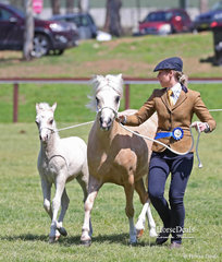 """Winner of the Best In Hand Welsh Exhibit of the Show went to the Welsh Mountain Pony Broodmare 8 years & over winner """"Vanoca Park Picture Book"""", exhibited by A. & S. Porter."""