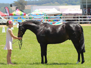 Champion Led Pony exhibited by Anastasia Blanch
