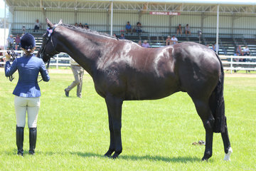 Champion Led Thoroughbred exhibited by Carolyn Halliday