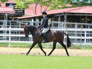 Supreme Hack Farleigh Anastasia ridden by Kirsty Harper Purcell