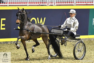 The Bent Tree Farms' nomination, 'In The Moment' driven by Karen Waldron is pictured during the Pony Roadster Amateur Championship. In the Roadster classes the horses are driven in trotting carts and not a viceroy.