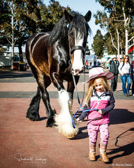 5yr old Shire Gelding 'Dragon' with his apprentice  handler and friend Ashleigh from Stanhope Victoria