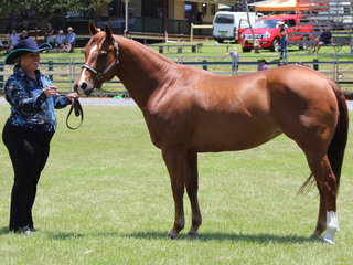Champion Led Quarter Horse SSP Pussy Power owned by Julie Malone and shown by Katie Painter