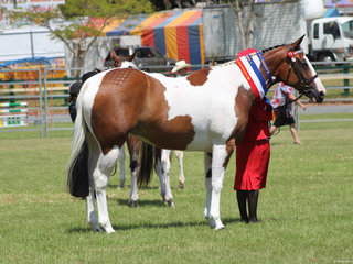 Champion Pinto exhibit  owned by Larissa Booth