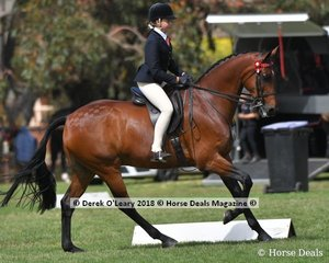 Don Gatsby (S:Don Duchovny D:Delamore Bonanza) ridden by Hayley Adams in the Open Large Hack.