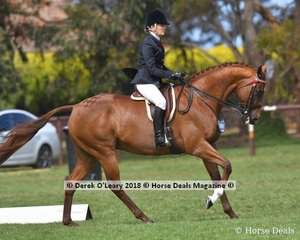 Heartwood Pageantry (S:Lago Delight D:From the Palace (NZ)) in the Open Large Hack ridden by Melissa Sweeney.