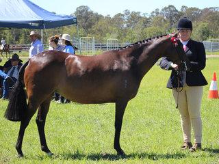 Champion Led Riding Pony Grandchester Spring Melody exhibited by Leanda Scott