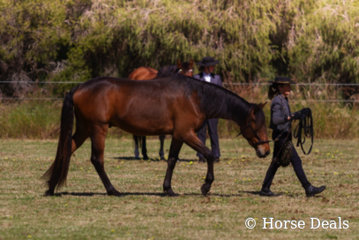 Brin Soleardo & Sharon Mills- Reserve Champion led Purebred Andalusian Gelding