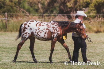 Gitano & Tracy Law- Champion Led Andalusian Derivitive Gelding