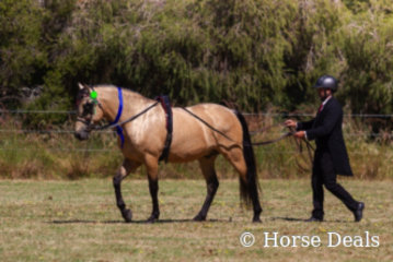 Majestic Picasso & David May- State champion Led Spanish Andalusian
