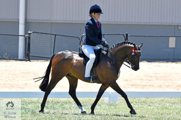 The Uhavta Stud's, 'Uhavta Kensington; ridden by Alannah Burns made Top Five in the Large Pony Championship