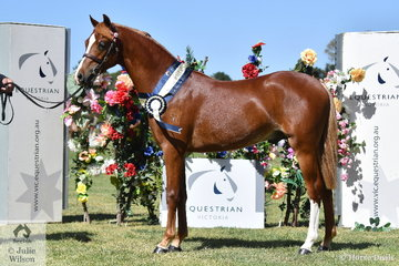 Stuart Ryan's, 'Kooyong Equality Yes' was declared Junior Champion APSB Australian Pony.