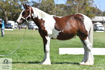 Kristyn Black's Yearling Part Bred Clydesdale, 'Boharn Valhalla Rising' AKA Odin or Bert, stands up well for his photo.