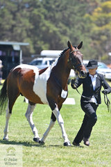Rebecca Lund is pictured on the run with her Victorian Champion Led Standardbred Stallion, 'Coolstrides'.