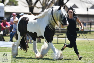 Bianca Barilari is pictured on the run with her successful Gypsy Cob Mare, 'Surrey Springs Bewitched'.