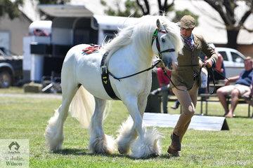 Reece Lawson did the honours with Michelle Abela's splendid Gypsy Cob stallion, 'Tirnanog' that was declared Champion Gypsy Cob.