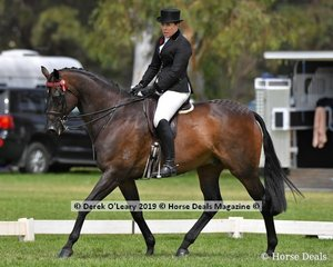 """""""Bogart"""" ridden and exhibited by Lisa McCann went Top Ten in the Open Large Hack class"""