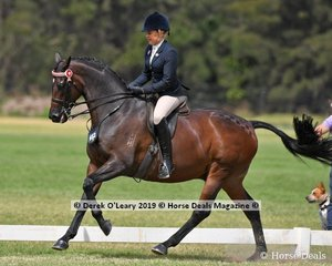 """""""C Dior"""" ridden by Stephanie Barrington went Top Ten in the Open Large Saddle Hack Class"""