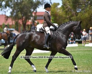 """Champion Large Show Hunter Hack, """"Hollands Bend Royal Consort"""" exhibited by Syenna Vasilopoulos"""