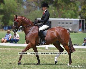"Champion Open Small Saddle Hack, ""Royal Oak Foreign Affairs"" ridden by Ali Berwick, exibited by Ali Berwick & Emma Barkla"