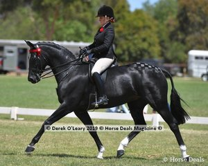 """""""Santa Fe"""" went Top Ten in the Open Saddle Small Hack, ridden and exhibited by Briony Randle"""