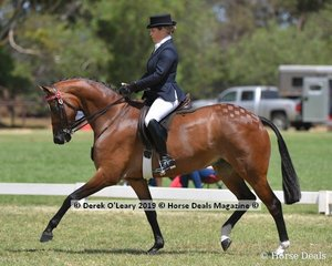 """""""Kolbeach Party"""" was in the Top Ten in the Open Small Saddle Hack, ridden and exhibited by Penny Greenhill"""